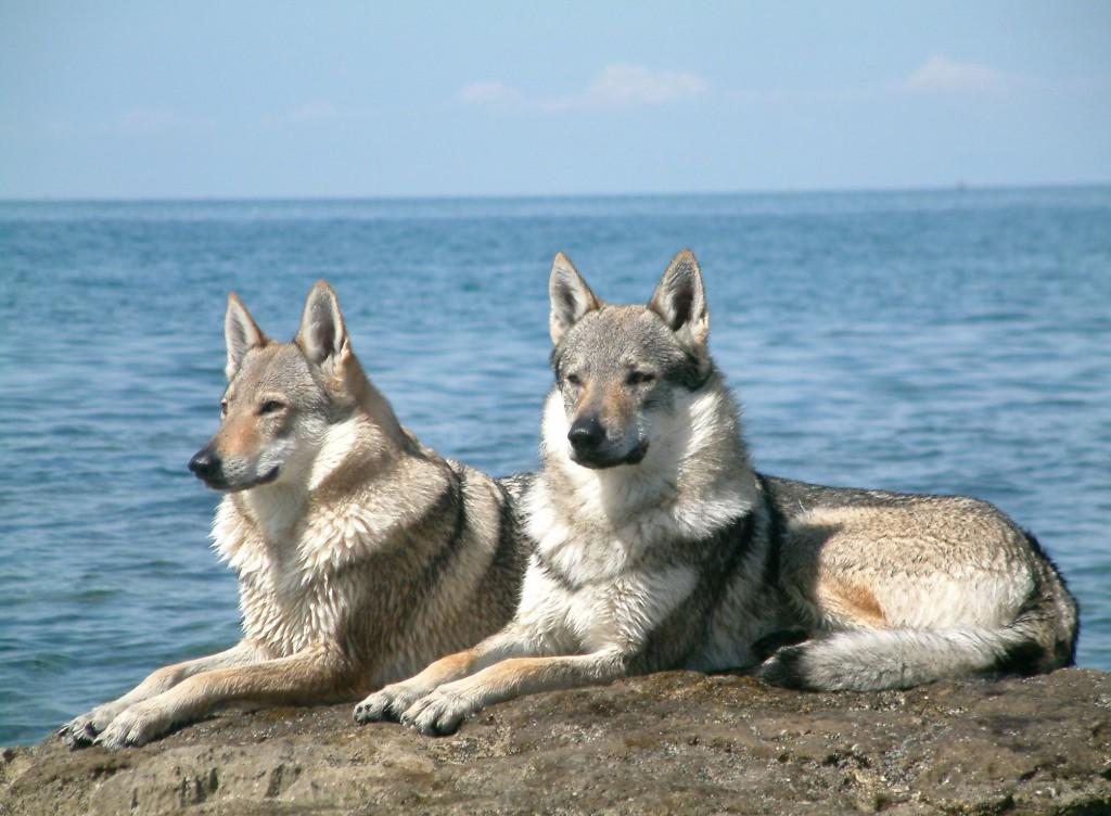 Wolfdog_pair