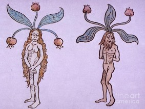 female-and-male-mandrake-alchemy-plant-science-source