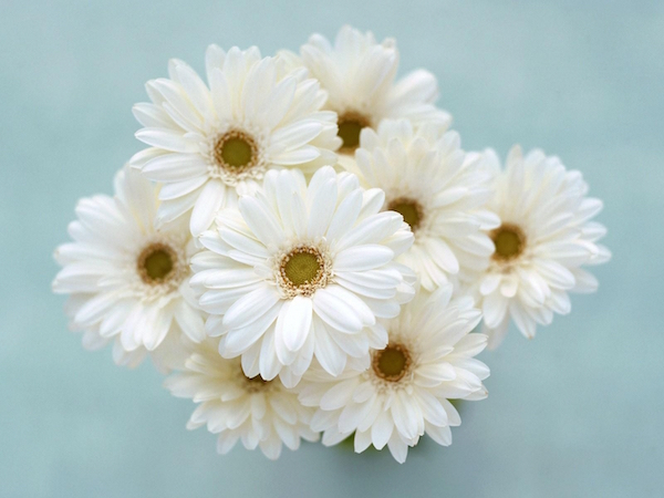 gerbera_flower_bouquet_white_tender_hd-wallpaper-31019