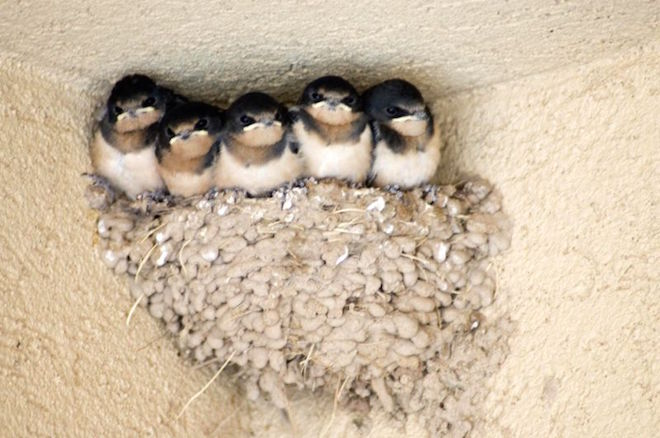 5 barn-swallow-nest-14