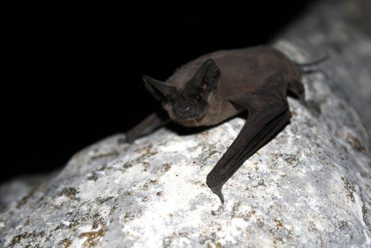 free-tailed-bats