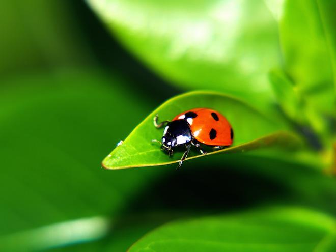 ws_Ladybug_on_a_leaf_1600x1200