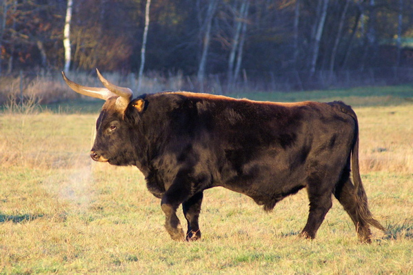 Heck_cattle_male