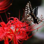 死人花とも呼ばれる彼岸花(ヒガンバナ)の花言葉とは