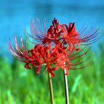 夏の終わりに咲く不思議な彼岸花(ヒガンバナ)の花言葉とは