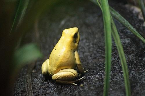 金色 カエル